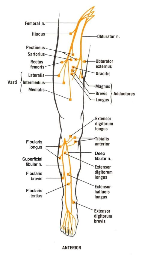 nerves of the human diagram anatomy organ pictures sles collection sciatic nerve