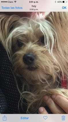 yorkie age span age calculator find dogs age in human years breeds picture