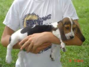 basset hound puppies az basset hound puppies in kansas