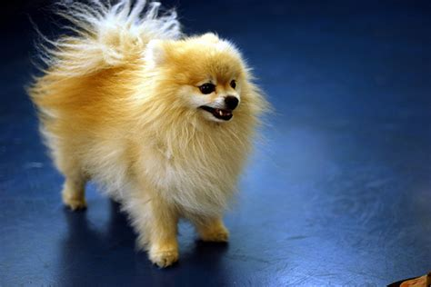 show me a picture of a pomeranian photo