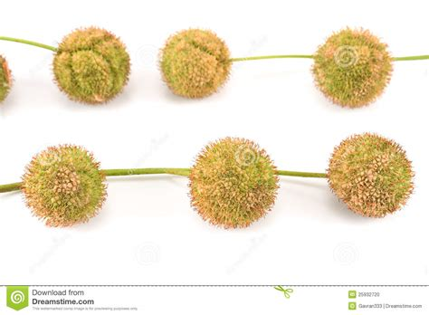 plane tree seed balls stock photo image 25932720