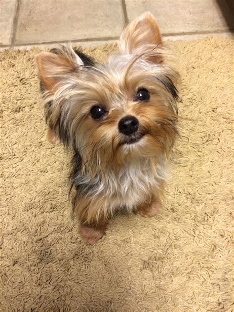 cuts for a chorkie 17 best images about yorkies on pinterest terrier