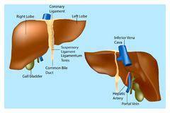 anatomia umana immagini organi interni struttura umana fegato illustrazione vettoriale