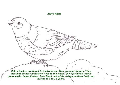 zebra finch coloring page birds printable coloring page for kids 24