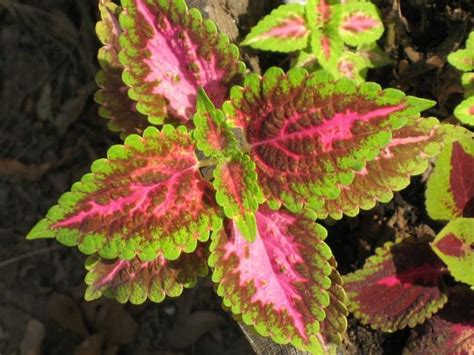 coleus plant flowers picture jpg 1 comment hi res 720p hd