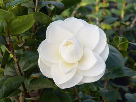 favorite camellia picks hgtv