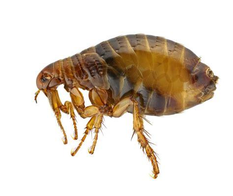 pulex irritans human flea