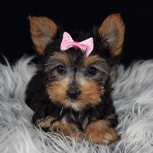 yorkies for sale in 200 yorkie puppy for sale baby puppies for sale in pa ma ny