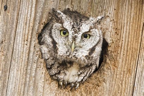 how to attract owls to your backyard you can attract screech owls to your yard birdwatching