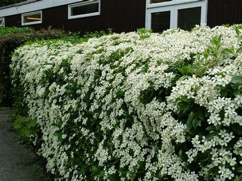 panoramio photo of bush with white flowers - Shrubs With Flowers