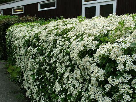 panoramio photo of bush with white flowers