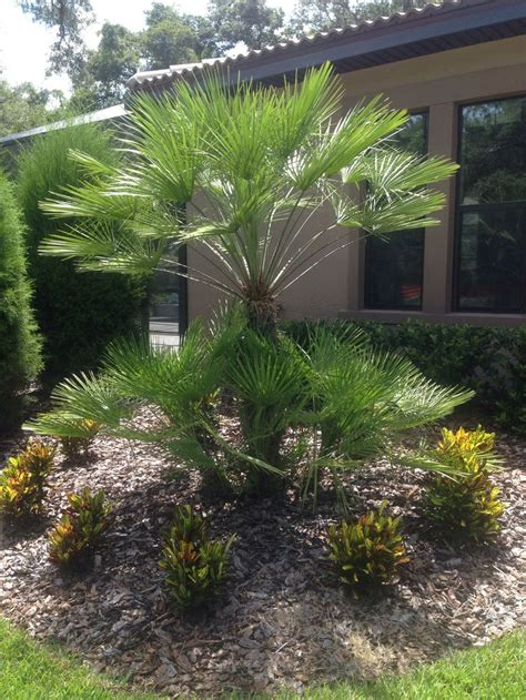 17 best images about palm tree landscaping on pinterest front yards fan palm and sago palm