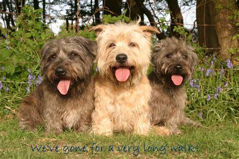 glen of imaal terrier puppies glen of imaal terrier best terrier dogs and recommended foods planetanimalzone