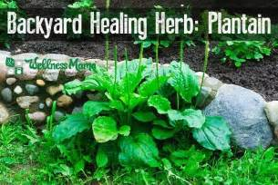 Plantain herb natural remedy for skin wellness mama