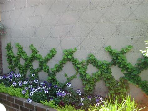 vining house plant that is trained to cover the ceiling climbing garden to cover cinder blocks http gateforless