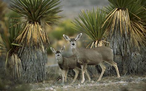 hd mule deer  yucca chihuahuan desert mexico wallpaper