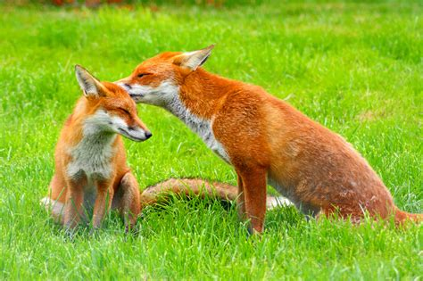 The Foxes the fox vulpes vulpes pgcps mess reform sasscer
