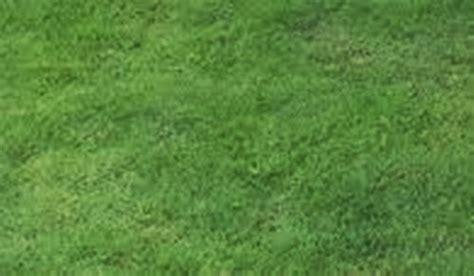 Bibit Rumput Jepang Jogja cara menanam rumput jepang arya flower