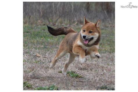 shiba inu puppies for sale in michigan shiba inu puppy for sale near grand rapids michigan a73adc0e 3561