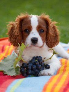 can dogs eat green grapes grapes for dogs 101 can dogs eat grapes and what s the danger