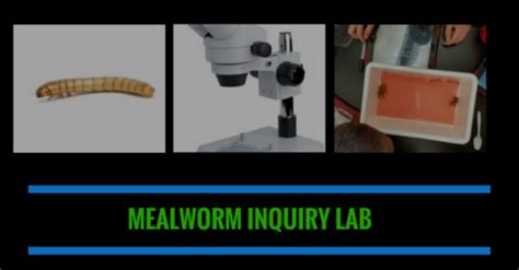 mealworm inquiry lab usbiologyteaching com
