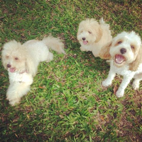 oodles dogs 17 best images about oodle cavoodle cavapoo on models poodles and puppys