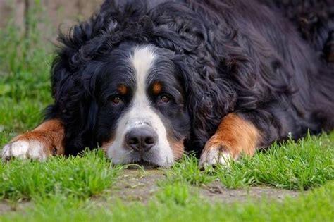 alimentazione bovaro bernese cucciolo bovaro bernese cani taglia grande scopriamo il