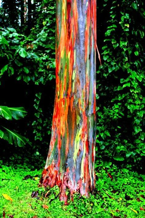 rainbow trees 25 best ideas about rainbow eucalyptus tree on pinterest