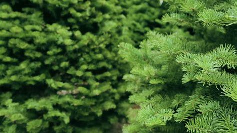 fresh cut christmas trees how to keep real christmas trees