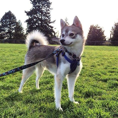 Alaskan Klee Shed by 7 Things You Need To Before Buying A Pomsky Animalso