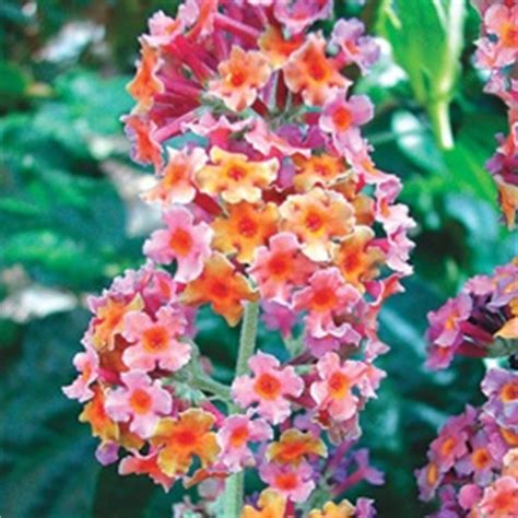 multi colored butterfly bush 17 best images about bushes shrubs and evergreens on