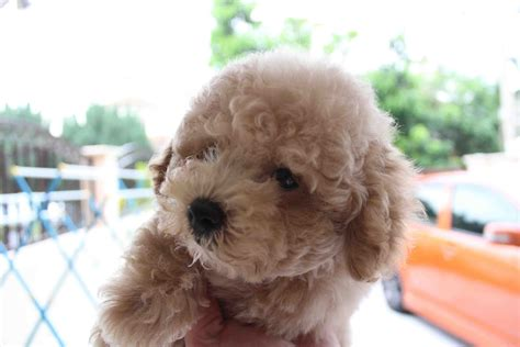 brown poodle puppy brown poodle puppy breeds picture