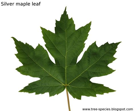 leaves and trees the world 180 s tree species silver maple leaf