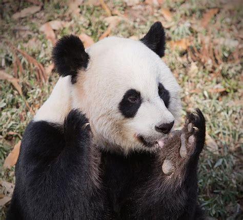 panda bear panda bear 0805080783 panda bear print by jack nevitt
