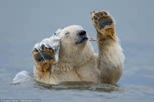 Two Polar Bears In A Bathtub by Polar In The Arctic Circle Appears To With A