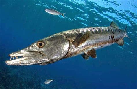 koleksi gambar sketsa ikan gabus hd terpopuler