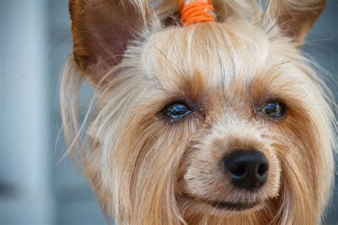 different haircuts for yorkies yorkie designer haircuts breeds picture