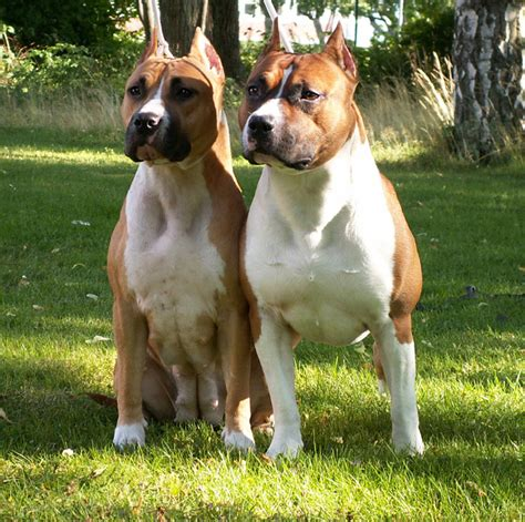 bull terrier puppies for sale in pa american staffordshire terrier puppies for sale in pa