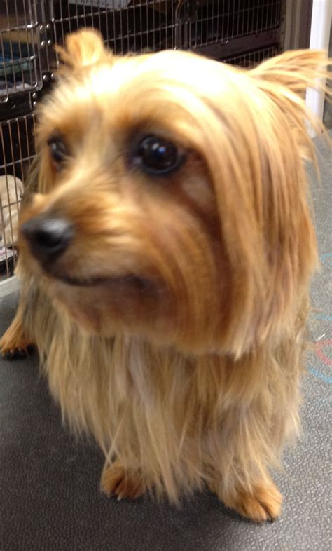 picture of one year old yorkie with puppy cut 8 year old yorkie needs 18 teeth removed virtuavet