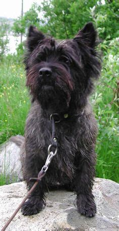 brindle cairn haircut cairn terrier grooming before and after good galleries