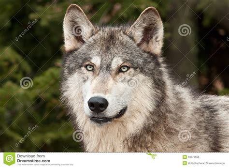 timber wolf canis lupus  green royalty  stock image image