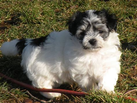 havanese puppies for sale in maryland weyforth s havanese havanese breeder jarrettsville maryland
