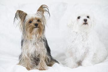 why has my maltese terrier got thin hair morkie puppies lovetoknow