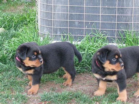 brown rottweiler gorgeous black and brown rottweiler puppies uk free classifieds muamat