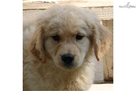 purebred golden retriever rescue golden kody email address photos phone numbers to golden kody