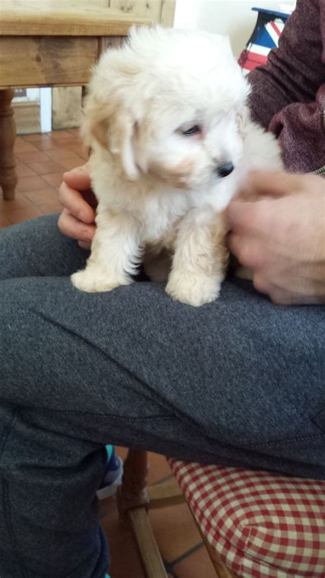 cavapoo puppies for adoption cavapoo puppy cambridge cambridgeshire pets4homes
