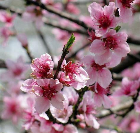 delaware state flower peach blossoms delaware state flower delaware small