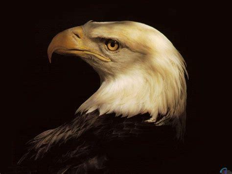 Wallpaper black, eagle, bird, Head of Bald Eagle.