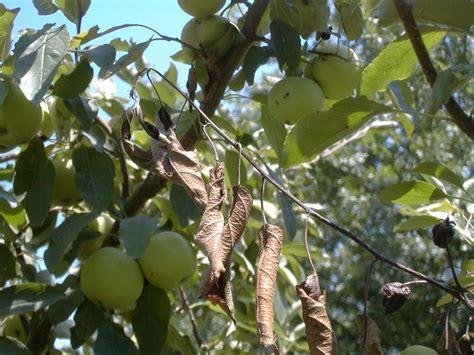 common diseases flowering dogwood diseases