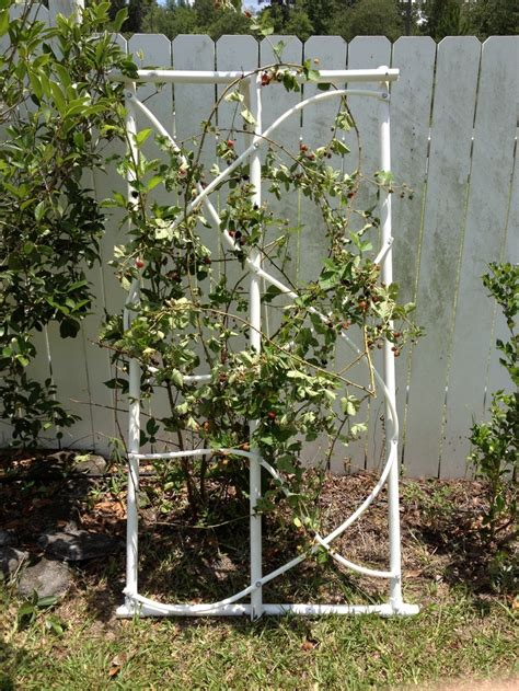 Pvc Pipe Trellis black berry trellis made from pvc pipe for the home